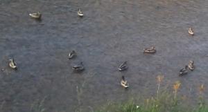 votre entourage aigles ou canards